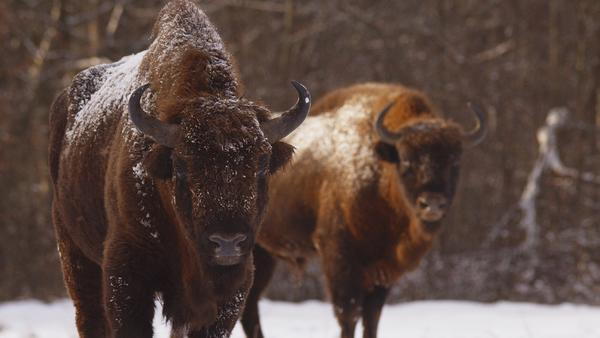 Mit Horn ganz vorn - Wilde Rinder