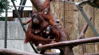 Tierbabys - Süß Und Wild! - Abschied Vom Affenbaby