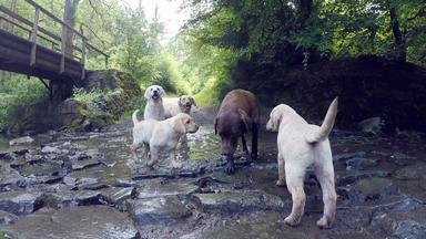 Tierbabys - Süß Und Wild! - Ein Labrador Als Ammenhündin