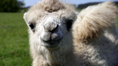Tierbabys - Süß Und Wild! - Babyalarm Auf Dem Kamelhof