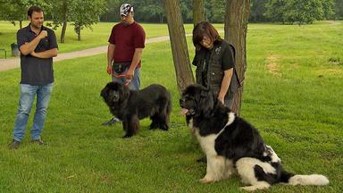 Der Hundeprofi - Neufundländer \