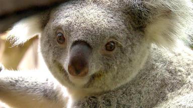Tierbabys - Süß Und Wild! - Das Koala-baby Soll Gewogen Werden