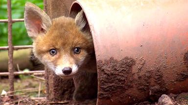 Tierbabys - Süß Und Wild! - Mobbing Unter Fuchs-geschwistern