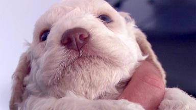 Tierbabys - Süß Und Wild! - Hundegeburt Auf Italienisch: Lagotto Romagnolo-welpen