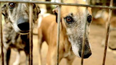 Der Hundeprofi Unterwegs - Galgo Español - Das Tragische Schicksal Der Spanischen Windhunde