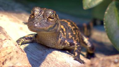 Tierbabys - Süß Und Wild! - Zu Besuch Bei Alligatorenbabys