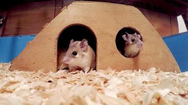Hundkatzemaus - Thema Heute U.a.: Faszination Stachelmäuse