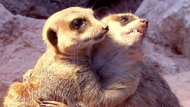 Tierbabys - Süß Und Wild! - Nachwuchs Bei Den Erdmännchen