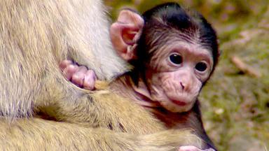 Tierbabys - Süß Und Wild! - Stets Bei Allem Dabei: Berberaffenbabies Und Ihre Mütter