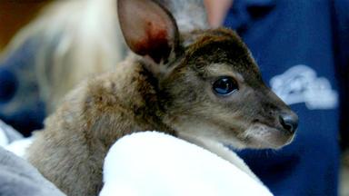 Tierbabys - Süß Und Wild! - Thema Heute U.a.: Das Waisenkind Im Beutel