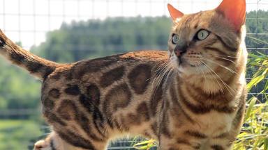 Hundkatzemaus - Thema Heute U.a.: Die Bengalkatze - Der Mini-leopard Fürs Wohnzimmer