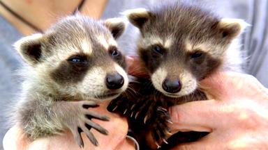 Tierbabys - Süß Und Wild! - Thema Heute U.a.: Zuwachs In Der Waschbär-wg