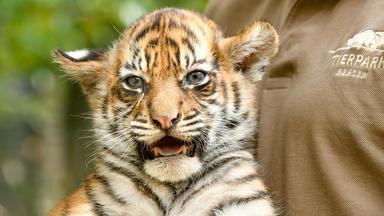 Tierbabys - Süß Und Wild! - Thema Heute U.a.: Tigerbabys