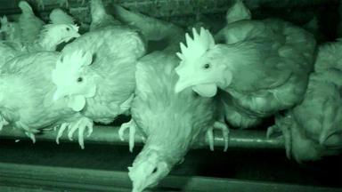 Hundkatzemaus - Thema Heute U.a.: Nachhaltigkeit - Hilfe Für Hühner In Not