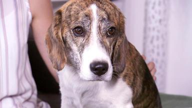 Der Hundeprofi - Heute U.a. Mit: Celine Mit Beagle-jack Russell Mischling Charly