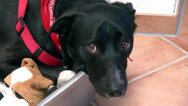Der Hundeprofi - Heute U.a. Mit: Franziska Hafner Mit Labrador-mischling \