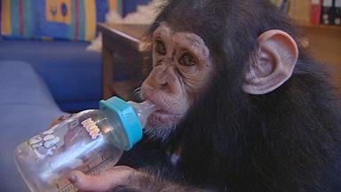 Wildes Wohnzimmer - Schimpansen-kindergeburtstag