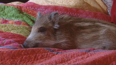 Wildes Wohnzimmer - Ein Schwein Im Bett