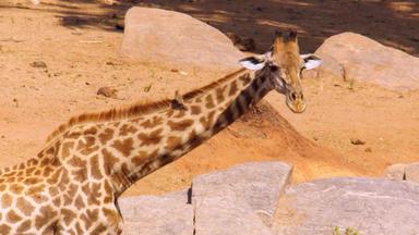 Die Letzte Giraffe - Die Letzte Giraffe