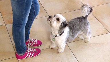 Der Hundeprofi - Heute U.a. Mit: Terrier-mischling \