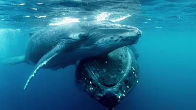 Die Große Reise Der Buckelwale - Die Große Reise Der Buckelwale
