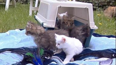 Wildes Kinderzimmer - Norwegische Waldkatzen Auf Entdeckungstour