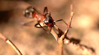 Hundkatzemaus - Thema U. A.: Ameisen Umsiedeln