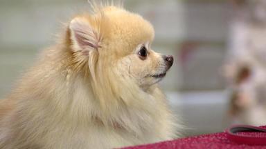 Wir Lieben Tiere - Die Haustiershow - Der Zwergspitz Teetou Nimmt Zu Hause Das Ganze Sofa In Beschlag