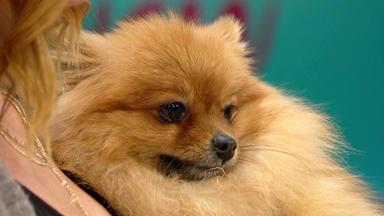 Wir Lieben Tiere - Die Haustiershow - Zwergspitz Tammy Leidet An Inkontinenz