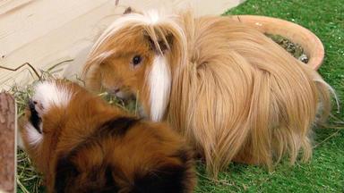 Wir Lieben Tiere - Die Haustiershow - Meerschweinchenböcke Bekommen Sich Immer Wieder In Die Haare
