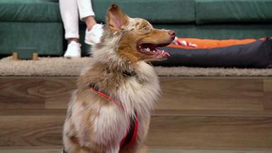 Wir Lieben Tiere - Die Haustiershow - Australian Shepherd \