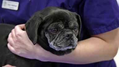 Tierretter Mit Herz - Hündin Berta Steht Eine Kniescheibenoperation Bevor