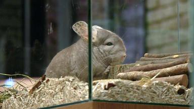 Wir Lieben Tiere - Die Haustiershow - Tipps Für Die Haltung Von Chinchillas