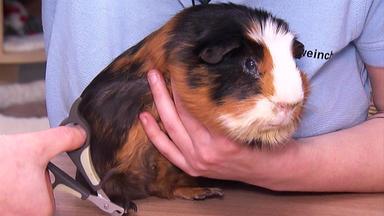 Hundkatzemaus - Heute U.a.: Meerschweinchen-gesundheits-tüv