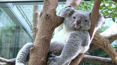 Tierbabys - Süß Und Wild! - Thema Heute U.a.: Nachwuchs Bei Den Koalas