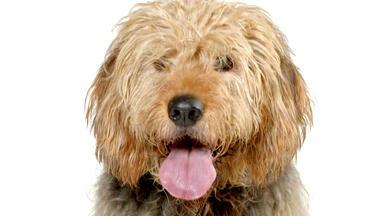 Hundkatzemaus - Heute U.a.: Der Otterhound Im Portrait