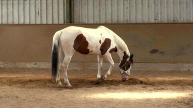 Die Pferdeprofis - Palominowallach \