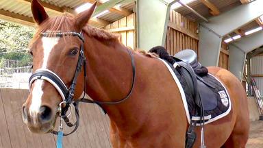 Die Pferdeprofis - Fuchswallach \