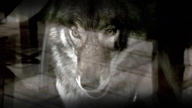 Verdachtsfälle - Verantwortungsloser Freund Lässt Baby Mit Wolf Allein